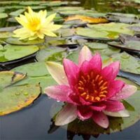 amem waterlilies