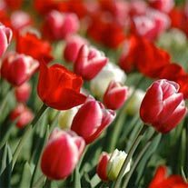 amem_red_tulips