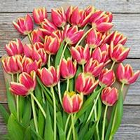 amem-tulips2