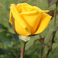 amem-yellowrose