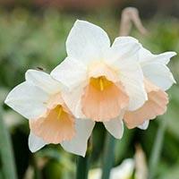 amem_daffodils.jpg