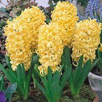 amem_yellow_hyacinth.jpg