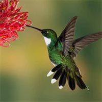 amem_hummingbird.jpg