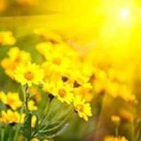 amem_yellow_daisies.jpg